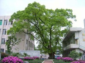 校園風光大榕树